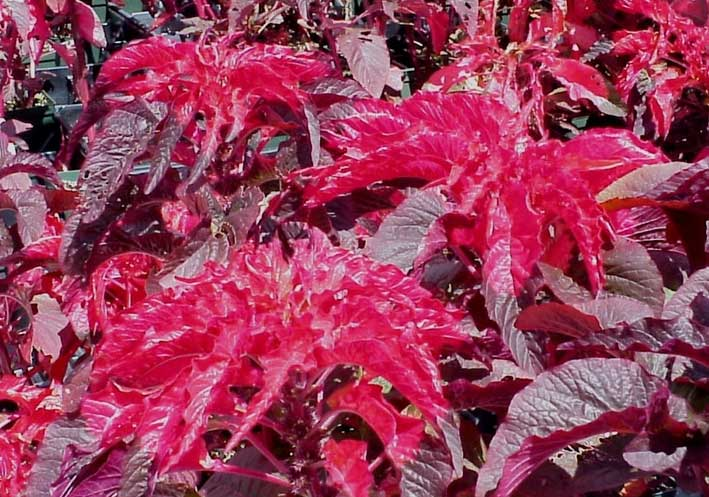 Amaranthus tricolor Early Splendor | Summer Poinsettia | Josephs Coat | 20_Seeds