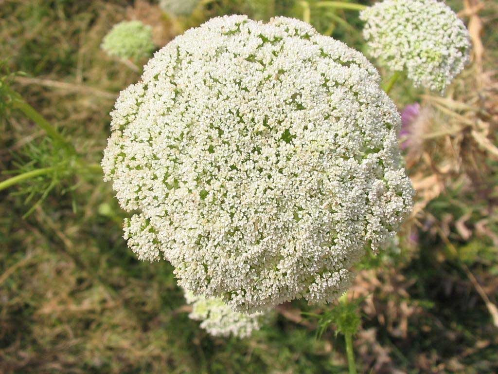 Ammi visnaga Green Mist | False Queen Annes Lace | Toothpick Weed | 50_Seeds