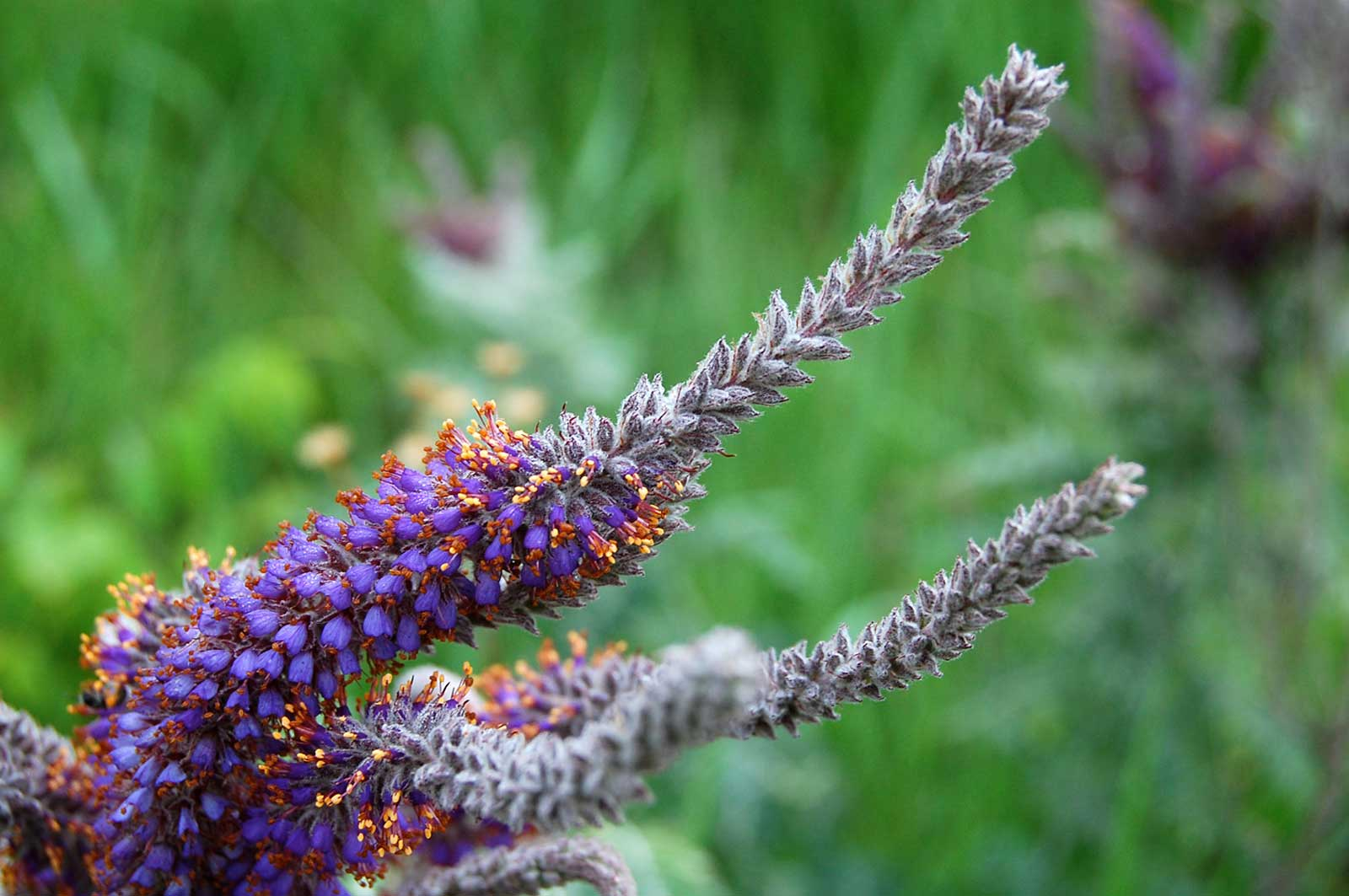Amorpha canescens | Lead Plant | Prairie Shoestring | 200_Seeds - Click Image to Close