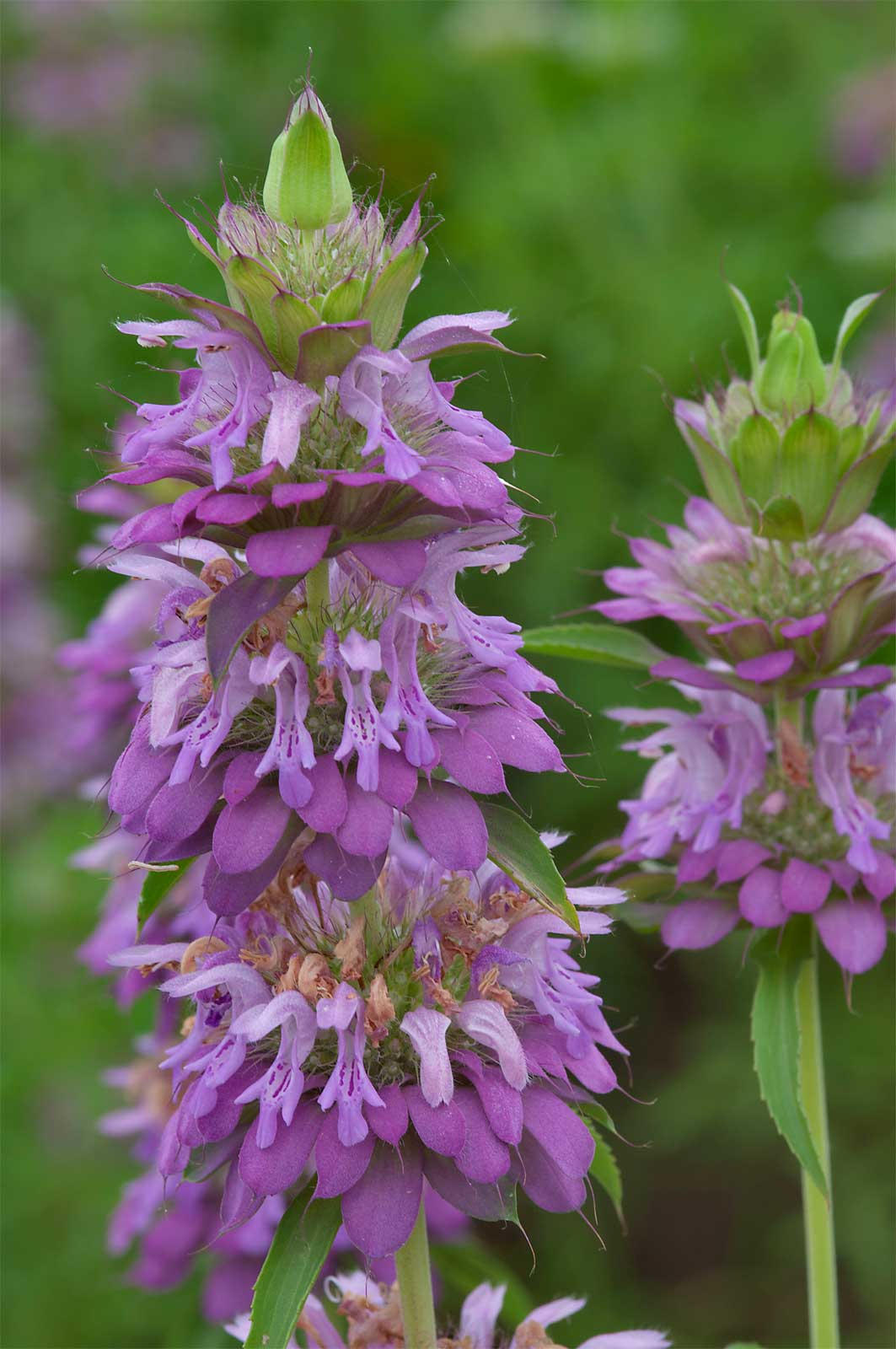 Monarda citriodora | Lemon Bee Balm | Purple Horsemint | 100_Seeds