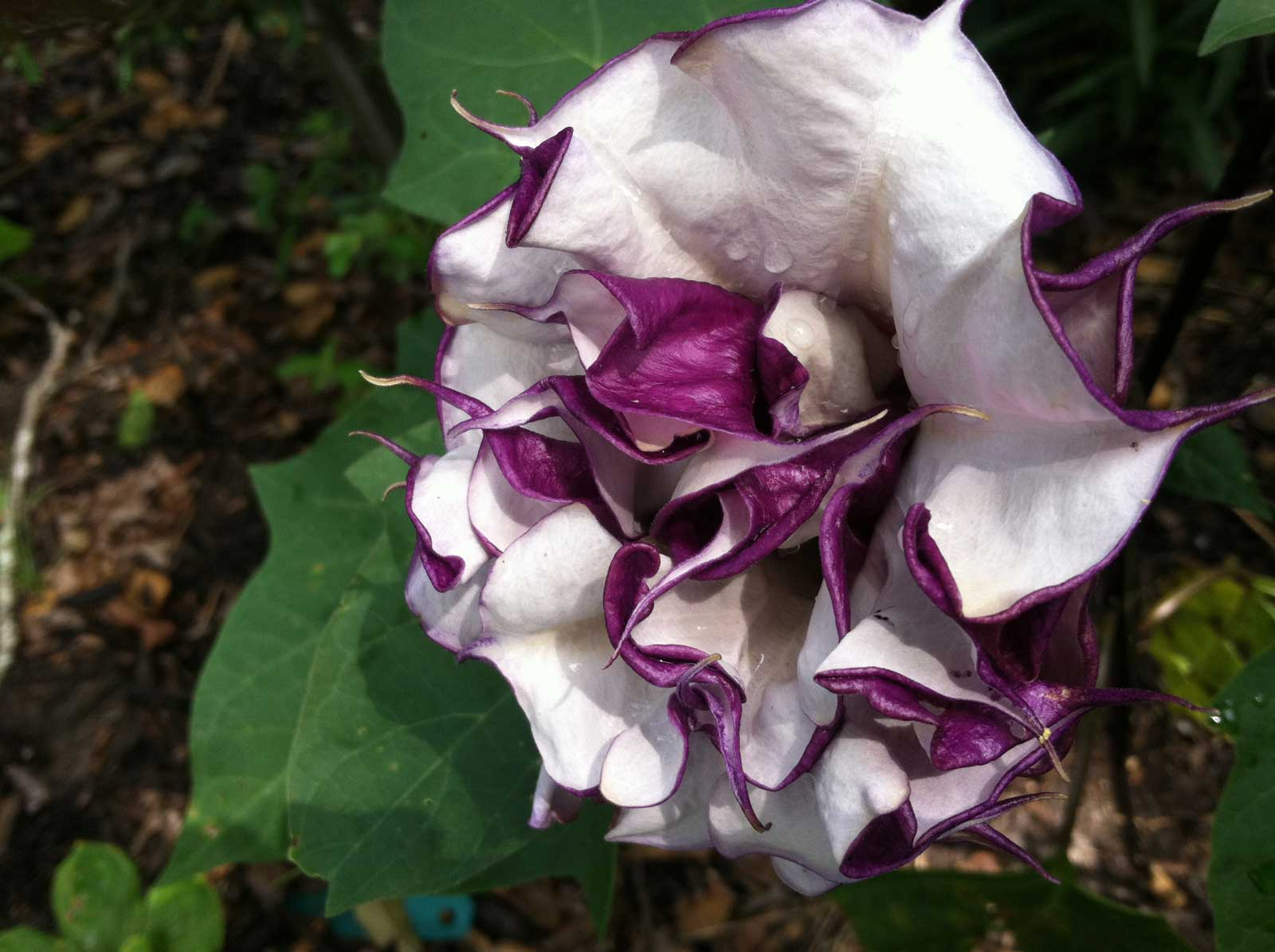 Datura metel Black Currant Swirl | Devils Trumpet | Horn of Plenty | 20_Seeds