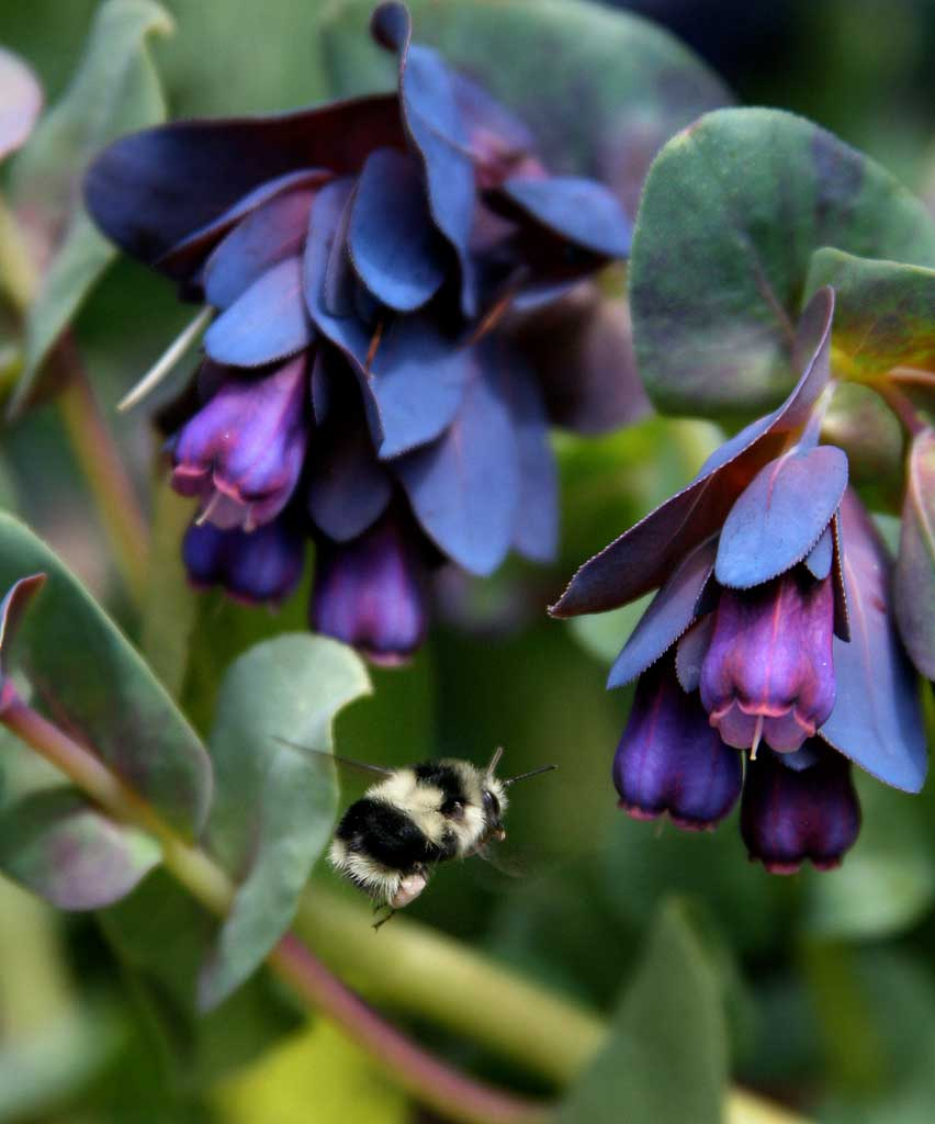 Cerinthe major Purpurascens | Honeywort | Blue Shrimp | 10_Seeds