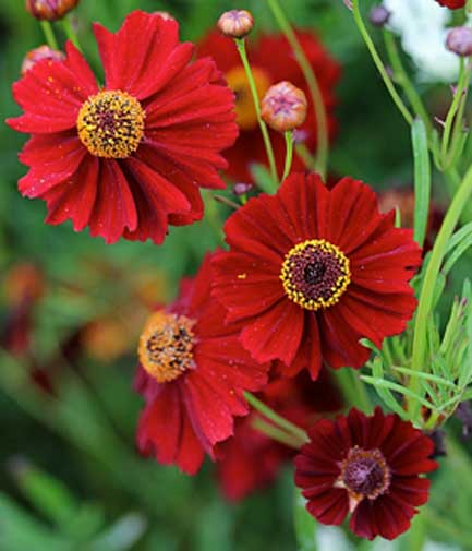 Coreopsis tinctoria Radiata Mix | Calliopsis | Tickseed | 20_Seeds