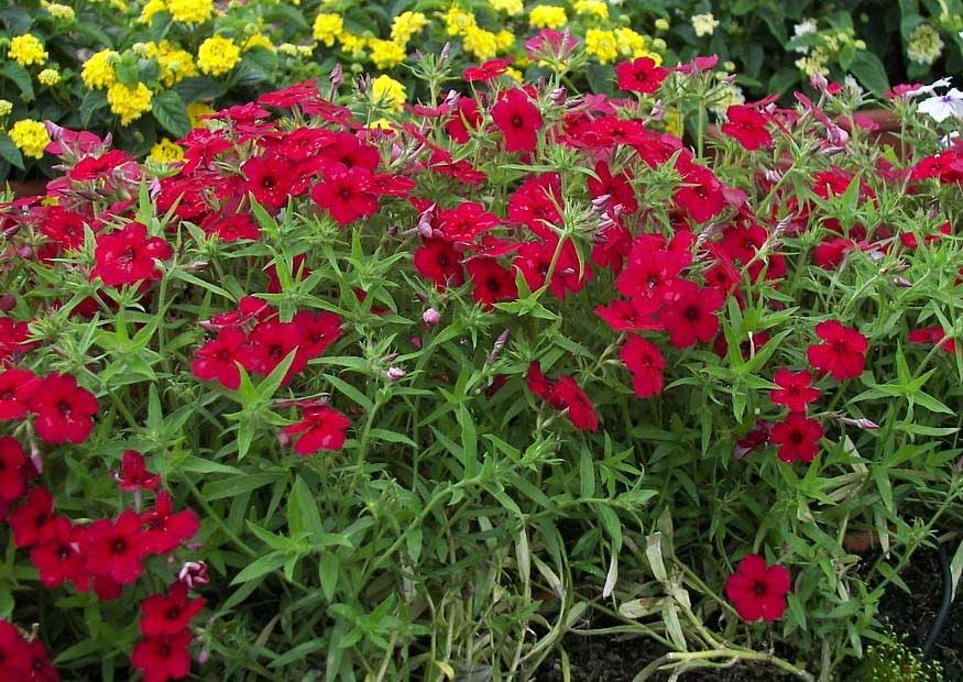 Phlox drummondii | Annual Drummonds | 50_Seeds