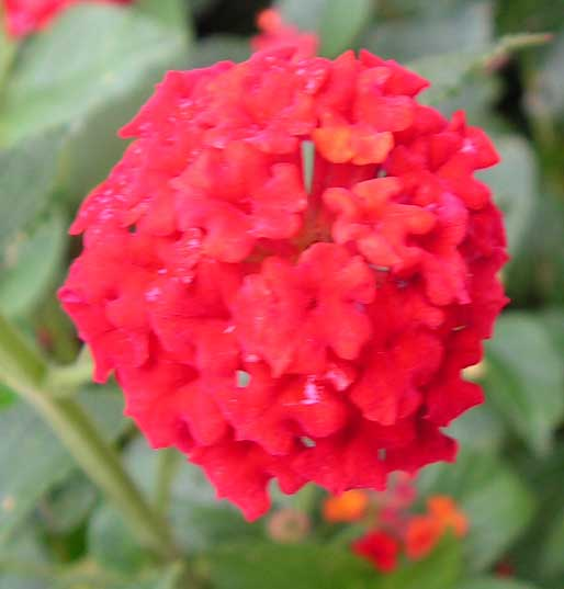 Lantana camara Florida Mound Red | 10_Seeds