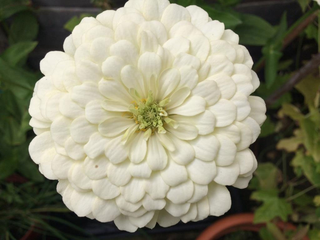 Zinnia elegans Polar Bear | 50_Seeds