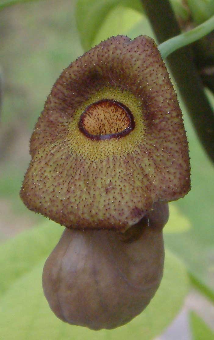 Aristolochia macrophylla | Broadleafed Birthwort | 10_Seeds