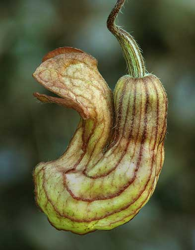 Aristolochia californica | California Pipevine | 10_Seeds