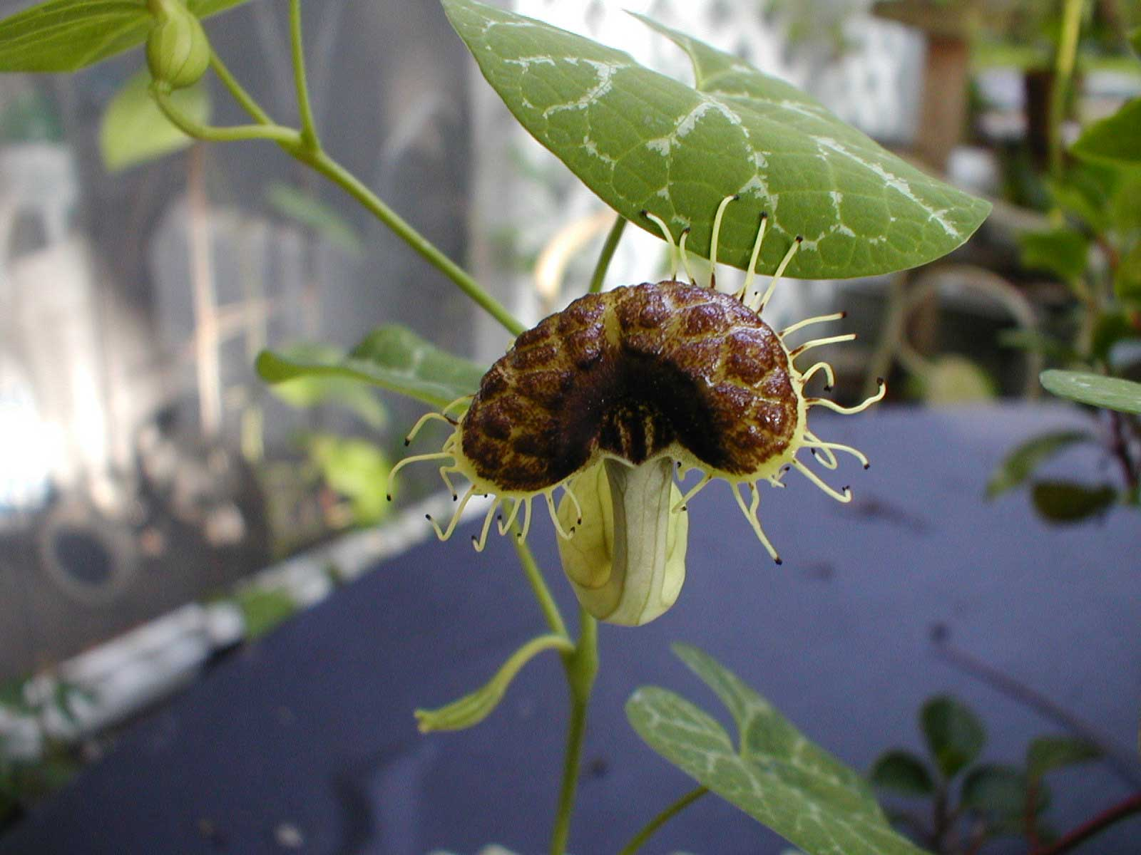 Aristolochia fimbriata | White Veined Dutchmans Pipe | 10_Seeds
