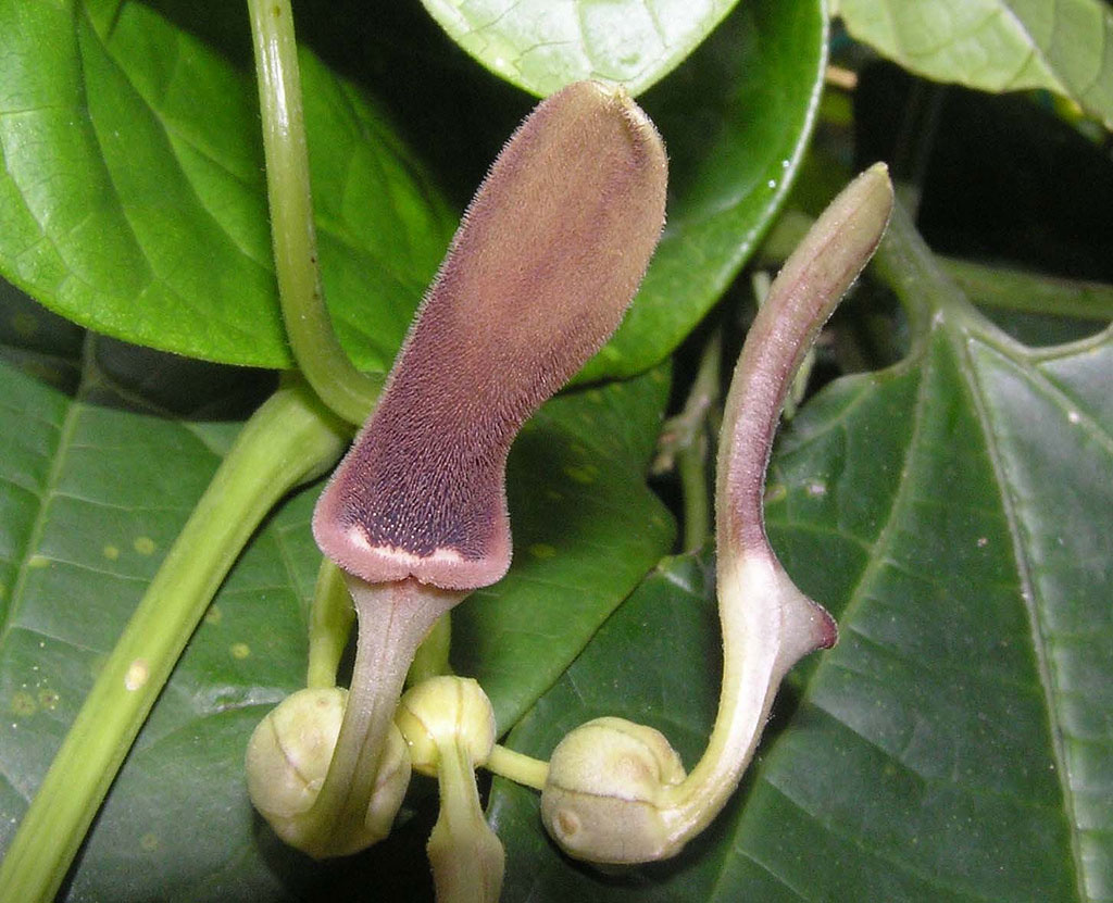 Aristolochia tagala | Indian Birthwort | 50_Seeds
