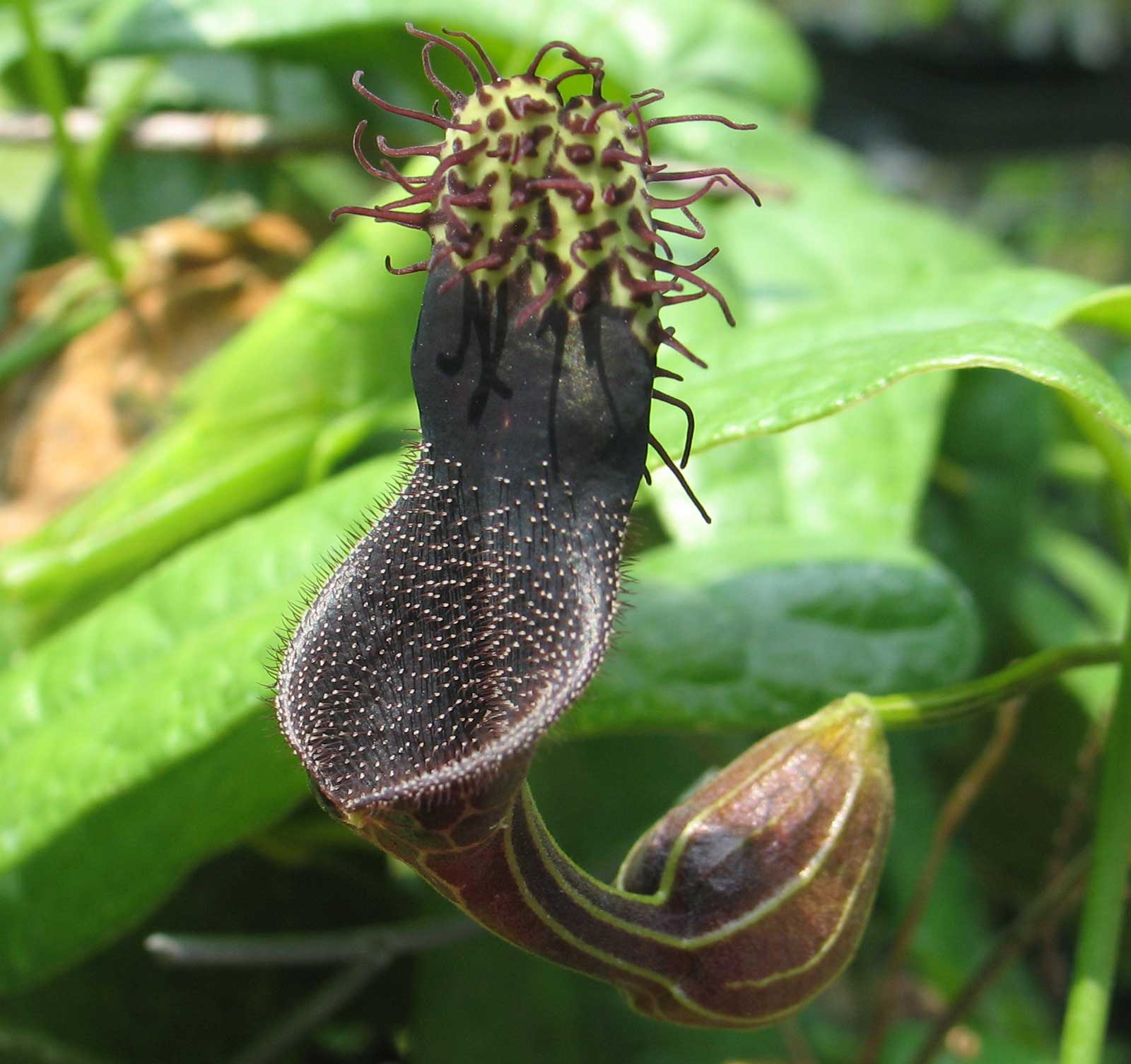 Aristolochia tiracambu #2 | 10_Seeds - Click Image to Close