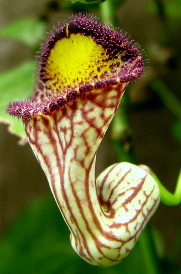 Aristolochia triangularis | 20_Seeds
