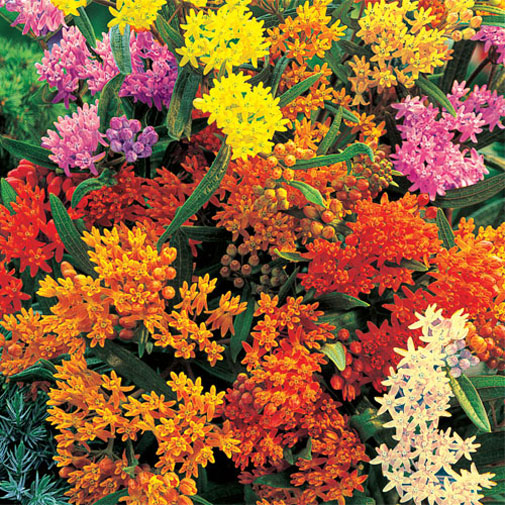 Asclepias tuberosa Gay Butterflies | 10_Seeds