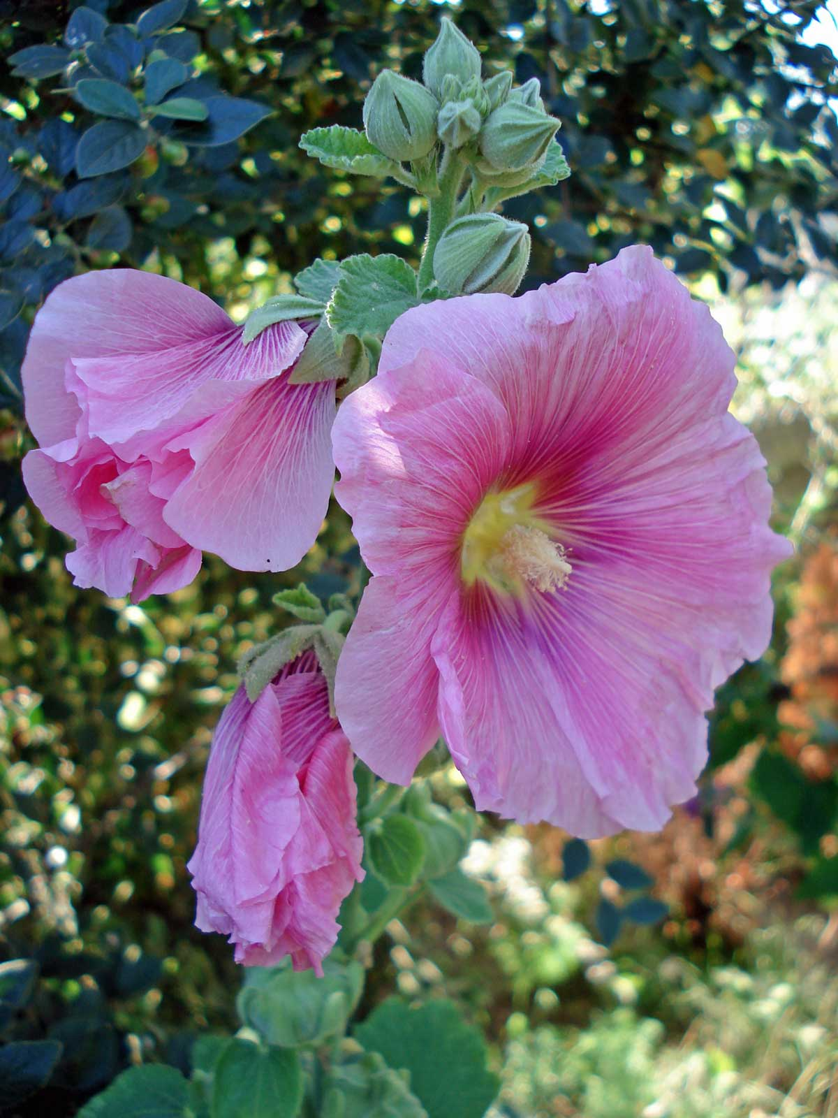 Alcea rosea | Hollyhock | 20_Seeds