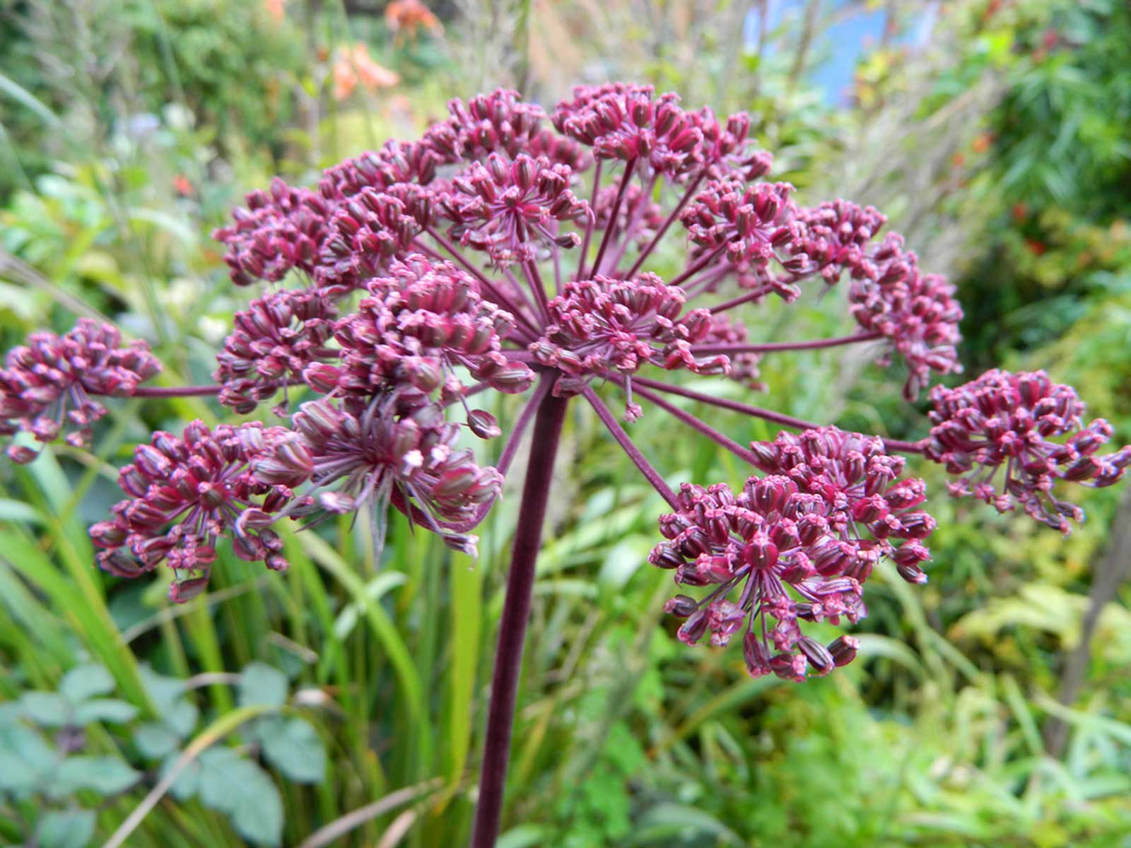 Angelica gigas | Giant Purple Korean Angelica | Dang Gui | 20_Seeds