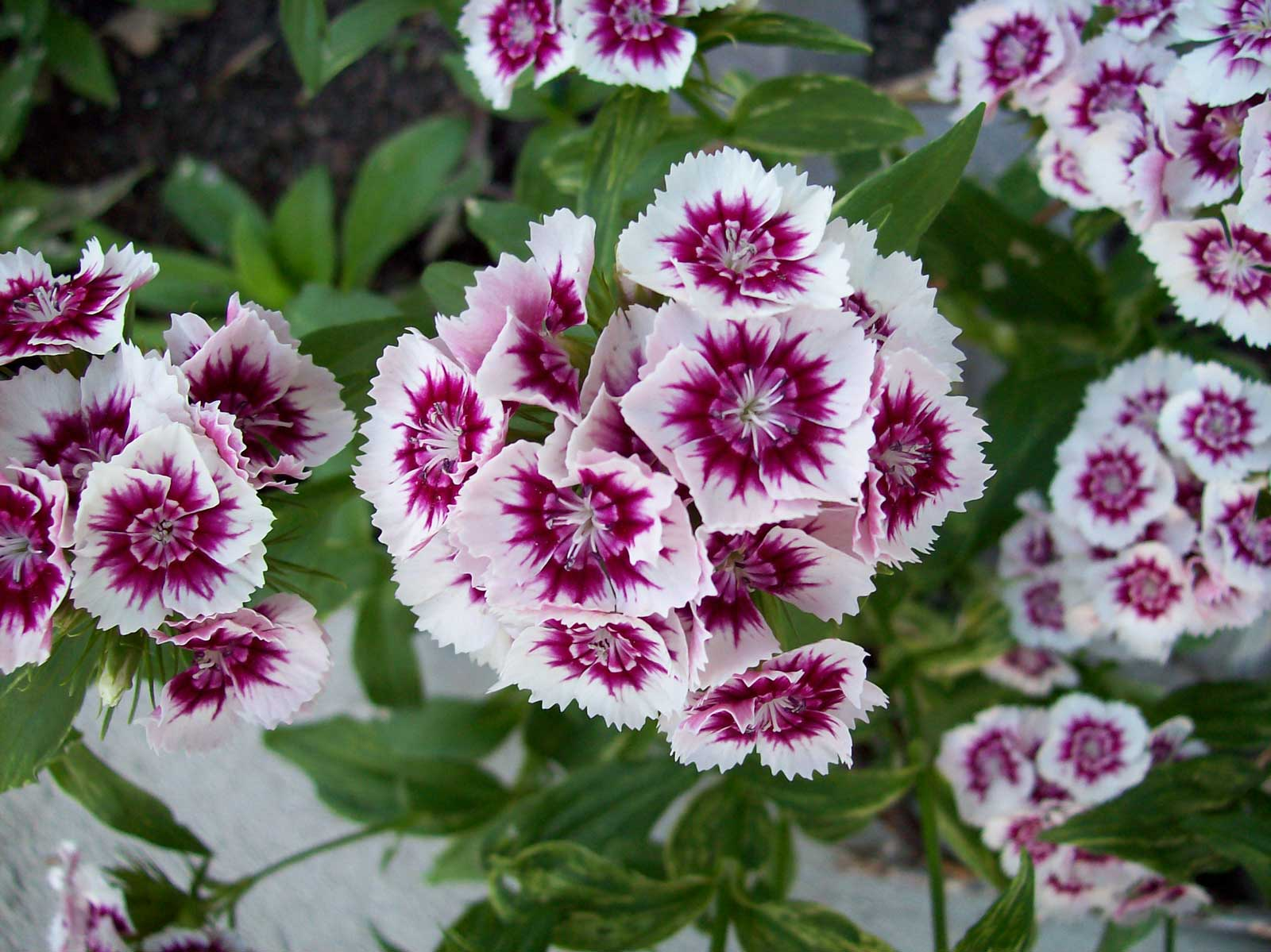 Dianthus barbatus | Sweet William | 20_Seeds