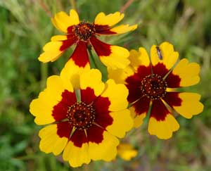 Coreopsis tinctoria Radiata Mix Calliopsis Tickseed