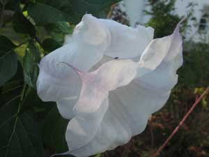 Datura metel Ballerina Double Lavender Tipped
