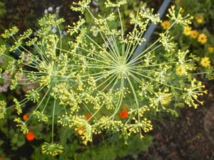 Anethum graveolens Dill