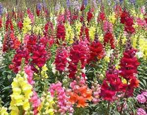 Antirrhinum majus Maximum Garden Snapdragon
