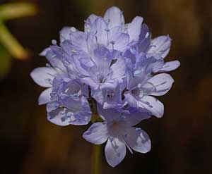 Gilia capitata Queen Annes Blue Thimble Flower