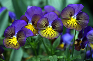 Viola x wittrockiana Pansy Karma Blue Butterfly Hearts Ease