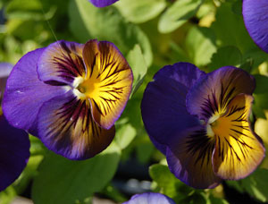 Here I am offering Seeds from Viola x wittrockiana, also known as Pansy Karma Blue Butterfly, Hearts Ease, Ladies Delight, and Stepmothers Flower. These beautiful pansies like to grow in full sun to partial shade and they do not mind growing in a container either if that suits your needs. Young leaves and flower buds can be eaten cooked or raw. They are also used as a garnish or as a thickener in soups. You can also use the leaves to make tea. Violas in general are larval host plants for the Great Spangled Fritillary, Meadow Fritillary, Diana Fritillary, Aphrodite Fritillary, Regal Fritillary, Zerene Fritillary, Coronis Fritillary, Callippe Fritillary, Unsilvered Fritillary, Edwards Fritillary, Hydaspe Fritillary, Arctic Fritillary, Silver-bordered Fritillary, Mormon Fritillary, Atlantis Fritillary, Pacific Fritillary, Northwestern Fritillary, and Variegated Fritillary butterflies, and for the Great Leopard, and The Beggar moth. It is also a nectar source for the Southern Rocky Mountain Orangetip, Stella Orangetip, West Virginia White, and Falcate Orangetip butterflies. This plant is grown as an annual all over but is considered a tender perennial where it can live through the Winter in USDA Hardiness Zones 7 to 10