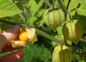Physalis pruinosa Ground Cherry Strawberry Husk Tomato