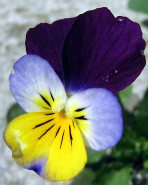 Viola tricolor Helen Mount Johnny Jump Up Heartsease