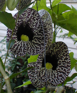 This is Aristolochia elegans, also known as Elegant Dutchmans Pipe, and Calico Flower. This vine attracts a wide variety of bees, birds, and butterflies. This plant likes to live in light shade where it blooms most of the year. All Aristolochia species, except for the Aristolochia gigantea, are larval host plants for the Pipevine Swallowtail, Polydamas Swallowtail, and Mylotes Cattleheart butterflies. USDA Hardiness Zone 8 to 10.