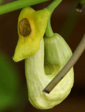 This is Aristolochia manshuriensis, also known as Birthwort, and Manchurian pipevine. This exotic looking pipevine blooms from late Spring until early Summer. All Aristolochia species, except for the Aristolochia gigantea, are larval host plants for the Pipevine Swallowtail, Polydamas Swallowtail, and Mylotes Cattleheart butterflies. USDA Hardiness Zones 5 to 10