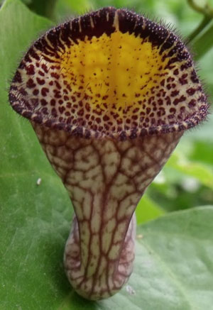 Aristolochia triangularis