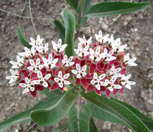 This is Asclepias hallii, also known as Purple Silkweed and Halls milkweed. In general, milkweeds have numerous pollinators including but not limited to wasps, bees, birds, skippers, butterflies, moths, and beetles. Asclepias in general are documented nectar sources for the Monarch, Orange-edged Roadside-Skipper, Dina Yellow, Carus Skipper, Eastern Tiger Swallowtail, and Falcate Metalmark butterflies. It is also the nectar source for the Clarks sphinx, and Milkweed Tussock moths. USDA Hardiness Zones 3 to 7.