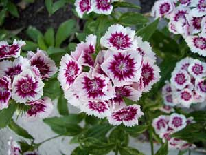 Dianthus barbatus Sweet William