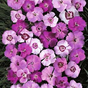 Digitalis parviflora, Foxglove, Dianthus Plumarius ...