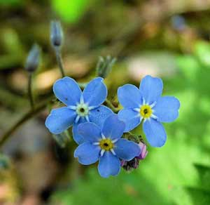 Myosotis sylvatica Woodland Forget Me Not