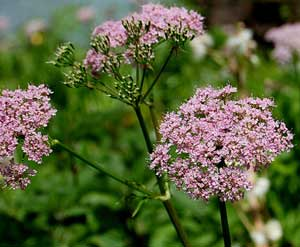 Pink Queen Annes Lace Daucus carota Pink Wild Carrot