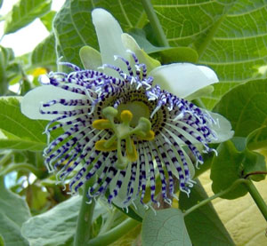 Passiflora actinia Passion Flower