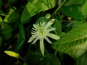 Passiflora capsularis Red Granadilla