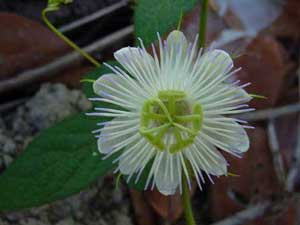 Passiflora foetida alba Running Pop