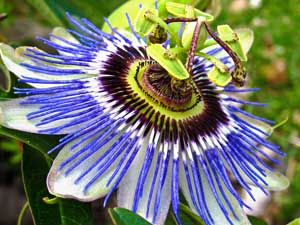 Passiflora caerulea Blue Hardy Passion Flower
