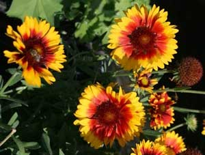 Gaillardia aristata Bremen Indian Blanket Flower