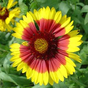 Here I am offering Seeds from Gaillardia aristata Bremen, also known as Blanket Flower, Indian Blanket, and Gaillardia. This gorgeous native wildflower gets 2 to 3 feet height and is the larval host plant for the Bordered Patch butterfly. This deer resistant plant is also a pollen and nectar source for many beneficial insects. USDA Hardiness Zones 3 to 10