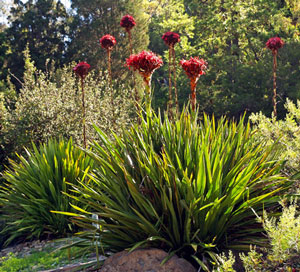 Doryanthes excelsa Giant Flame Lily 4