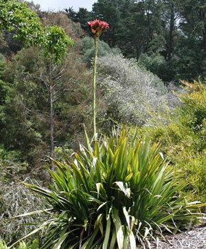 Doryanthes excelsa Giant Flame Lily 3