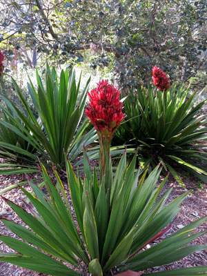 Doryanthes excelsa Giant Flame Lily 2