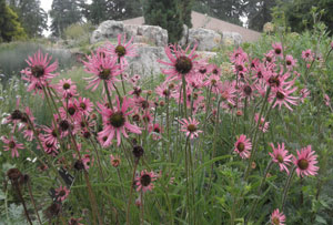 Echinacea tennesseensis Tennessee Coneflower 3