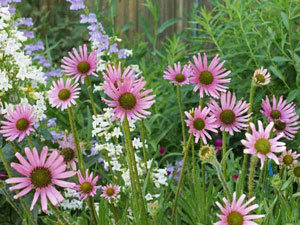 Echinacea tennesseensis Tennessee Coneflower 2