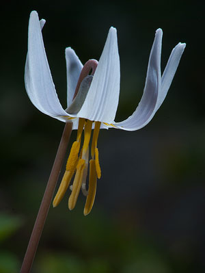 Erythronium albidum White Fawnlily Trout Lily Adders Tongue 5