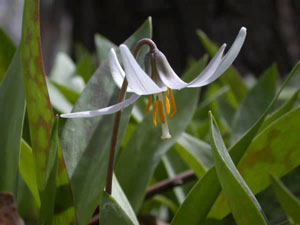 Erythronium albidum White Fawnlily Trout Lily Adders Tongue 2